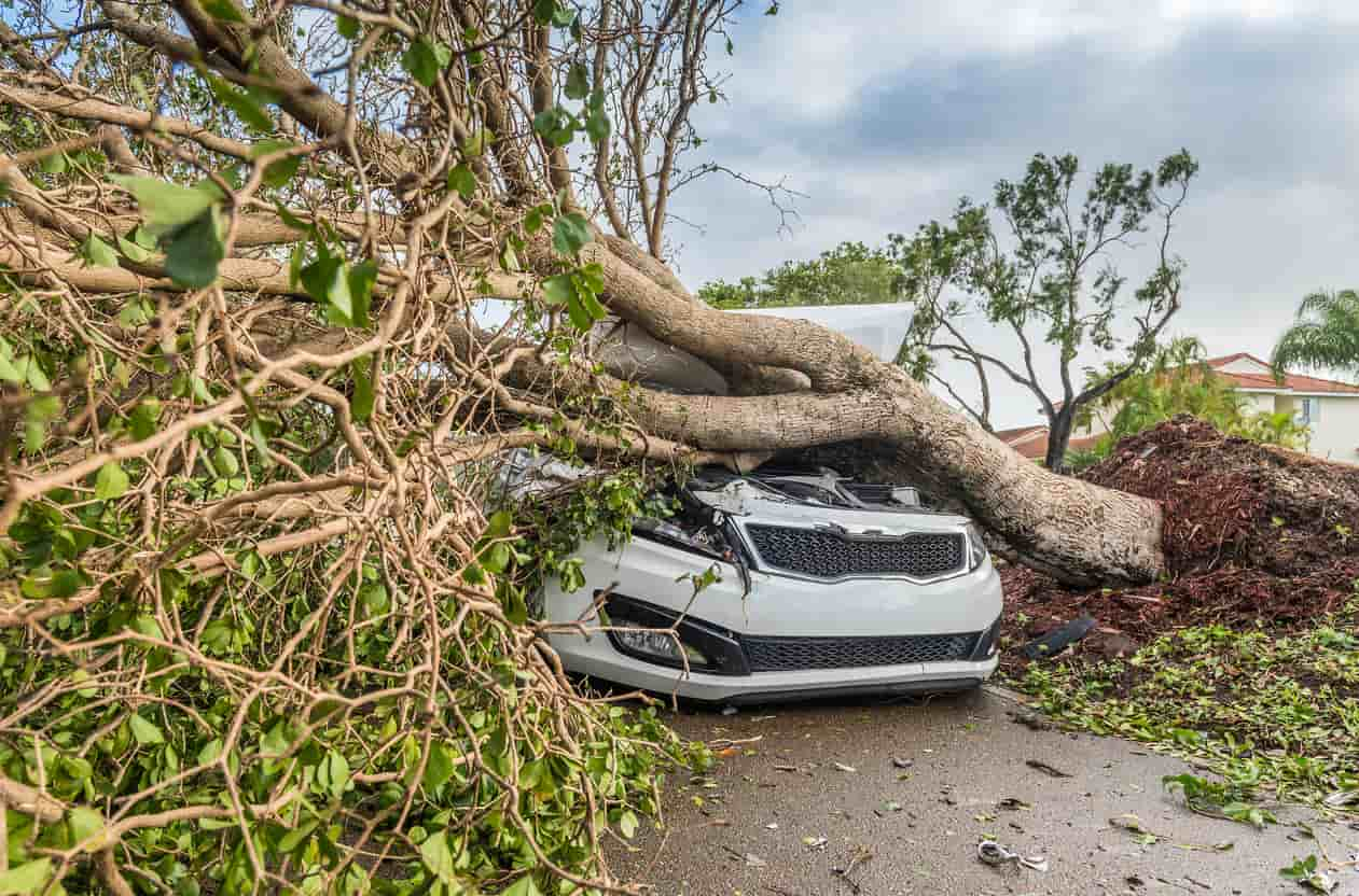 A white car that did not have the right vehicle insurance for hurricanes completely crushed by a large tree that's been uprooted by a storm